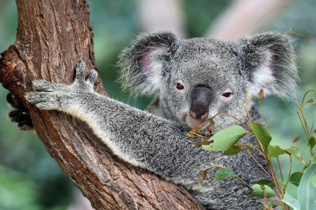 Australian koala hugging a eucalyptus tree
